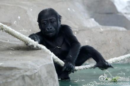 上海动物园大猩猩叫海弟
