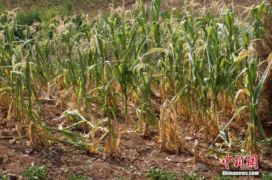 8月1日,陕西三原县冯村水库几近干涸。7月以来,陕西关中、陕南地区出现持续高温,为1961年以来温度最高的年份,陕西省水文局连续发布枯水预警。当前旱情已严重影响秋粮作物正常生长,部分地区玉米出现绝收现象。据最新资料分析,当地干旱程度将进一步加剧。  陕西三原县冯村水库大片裸露的土地。  陕西三原县冯村水库几近干涸。  鲁山县董周乡西高村村民在深井中取水。  地处伏牛山东麓的河南省鲁山县,遭遇夏季大旱。全县玉米受旱面积44、98万亩,其中重旱27.